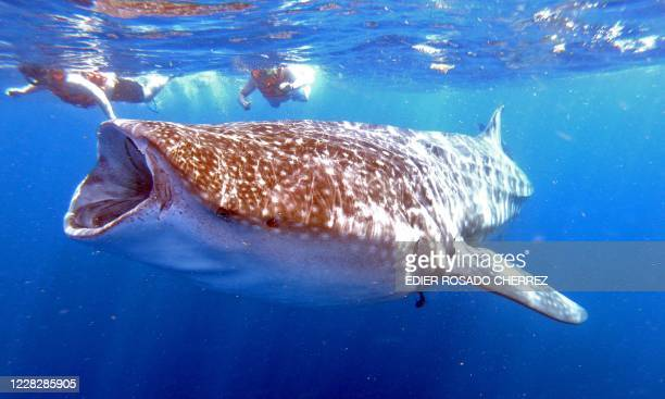 People swim next to a Whale Shark on June 11 2019 in Isla Holbox Quintana Roo state Mexico The huge fish which is in danger of extinction visits the...