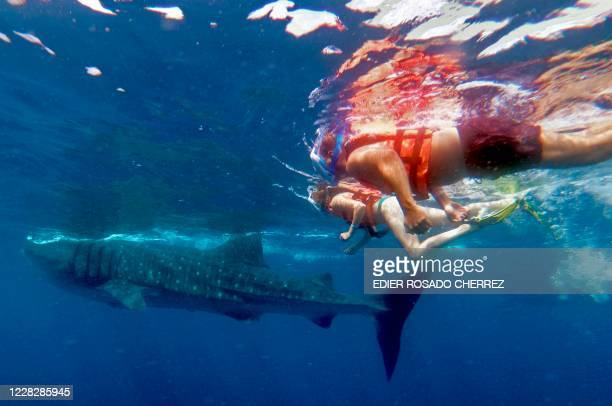 People swim next to a Whale Shark on September 9 2018 in Isla Holbox Quintana Roo state Mexico The huge fish which is in danger of extinction visits...