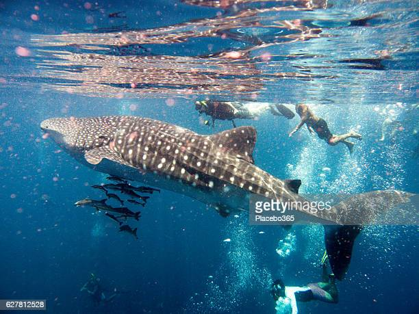people swimming with endangered species whale shark (rhincodon types) - whale shark stock pictures, royalty-free photos & images