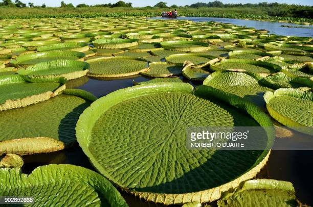 TOPSHOT People take a boat to see giant water lilies known as Yakare Yrupe in Guarani which appear every three to four years in great numbers and...