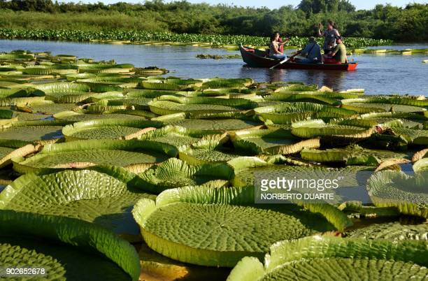 People take a boat to see giant water lilies known as Yakare Yrupe in Guarani which appear every three to four years in great numbers and size in the...
