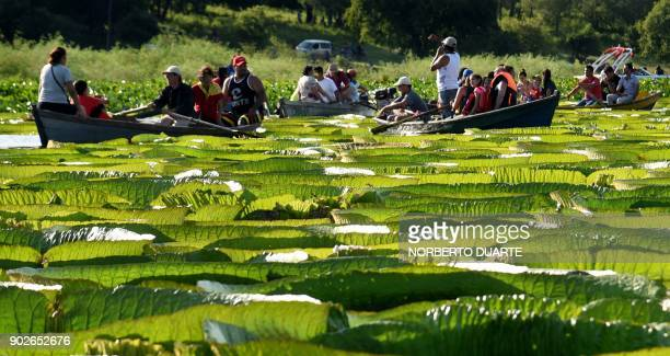 People take boats to see giant water lilies known as Yakare Yrupe in Guarani which appear every three to four years in great numbers and size in the...