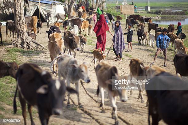 People take care of cattles at haor village in Sunamgonj Bangladesh on January 26 2016 Different of rural lifestyle are seen in haor Fishing cattle...