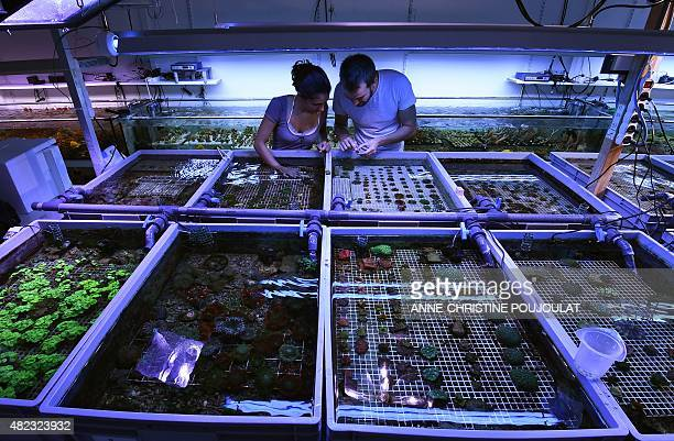 People take care of cultured corals at the Coral Biome sea farm on July 28 2015 in Marseille southern France Coral Biome is a marine biologist and...