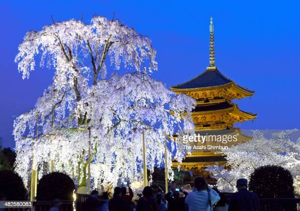People take photographs of the illuminated weeping cherry blossom and fivestory pagoda of the Toji Temple on April 3 2014 in Kyoto Japan