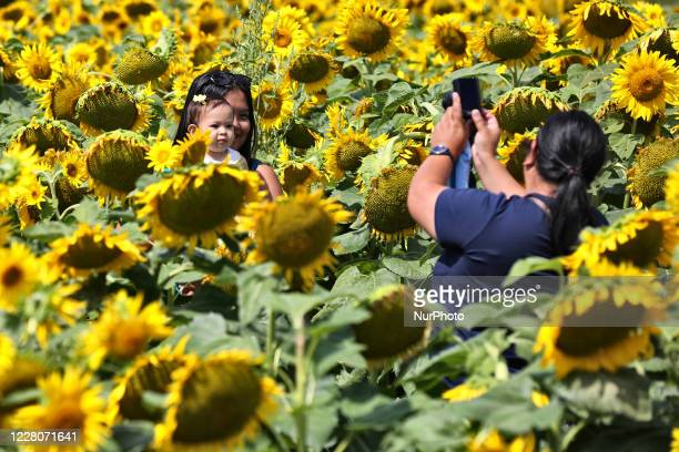 People take photos amongst sunflowers growing in a farmer's field in Stouffville Ontario Canada on August 15 2020