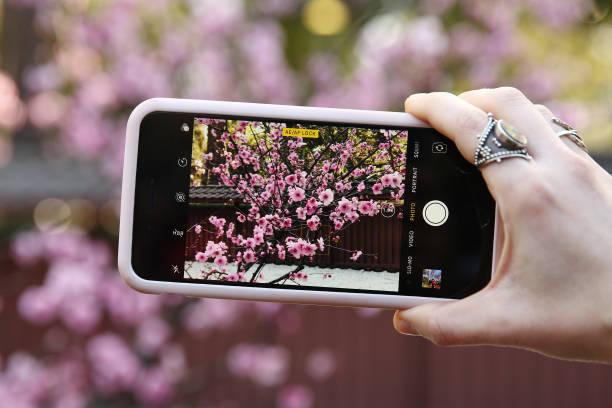 AUS: Crowds Enjoy The Sydney Cherry Blossom Festival