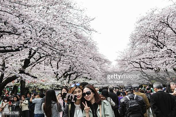People take picture with cherry blossoms at Ueno park on April 1 2016 in Tokyo Japan During cherry blossom season thousands of people gather across...