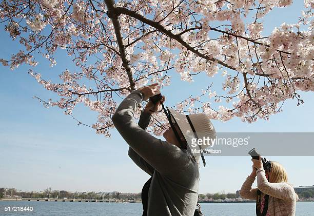People take pictures of blooming Cherry Blossoms March 24 2016 in Washington DC The National Park Service has predicted that most of the Cherry...