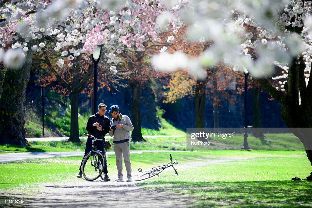 Philadelphia Springtime Cherry Blossom Season in Full Swing : News Photo