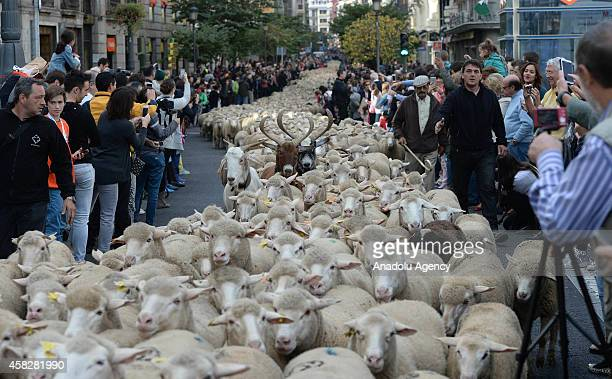People take pictures of two thousand sheep mustered through the city center to mark the seasonal migration of people with their livestock to south...