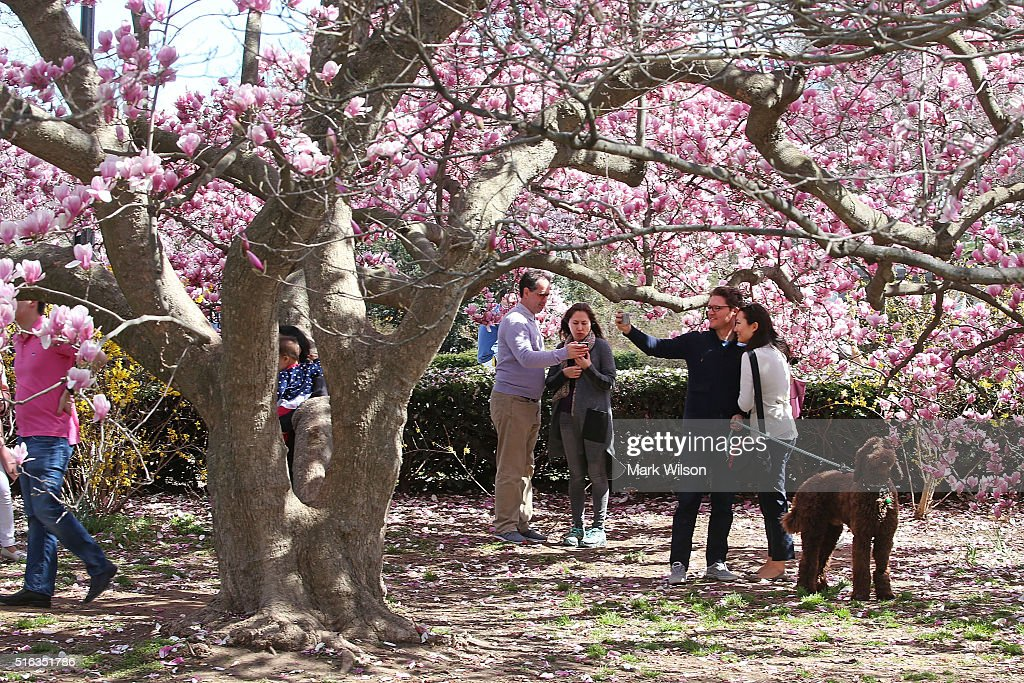 People Take Pictures With Magnolia Trees That Are Blooming Near The