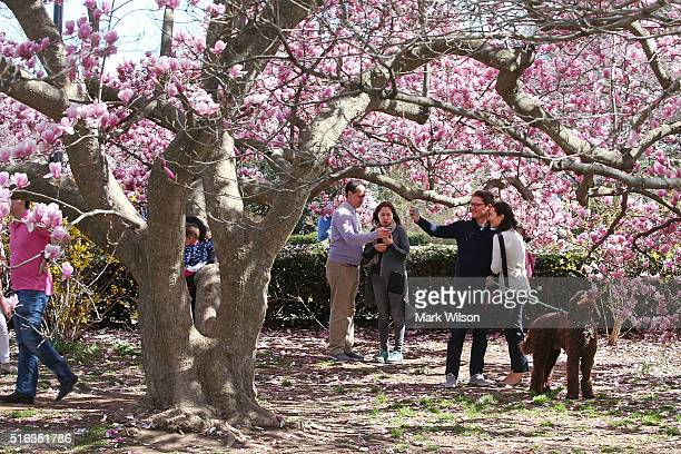 People take pictures with Magnolia trees that are blooming near the Jefferson Memorial March 18 2016 in Washington DC National Park Service officials...