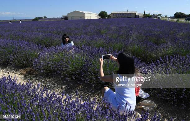 People taking photos amongst rows of lavender in full bloom on June 27 2018 in Valensole France Covering approximately 800 square kilometres the...