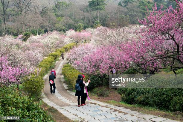 people taking pictures at plum blossom hill in nanjing - nanjing stock pictures, royalty-free photos & images