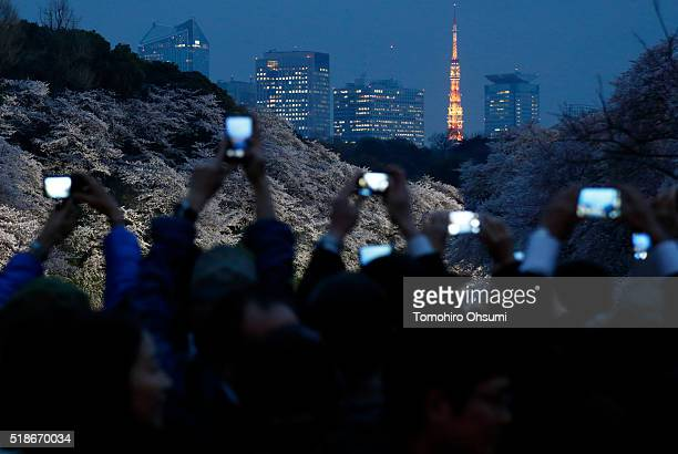 People use smartphones to take photographs of cherry blossoms as the Tokyo Tower stands illuminated at night on April 1 2016 in Tokyo Japan
