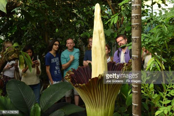 People view a Titan Arum plant at Cambridge University Botanic Garden which is flowering for the first time in 13 years