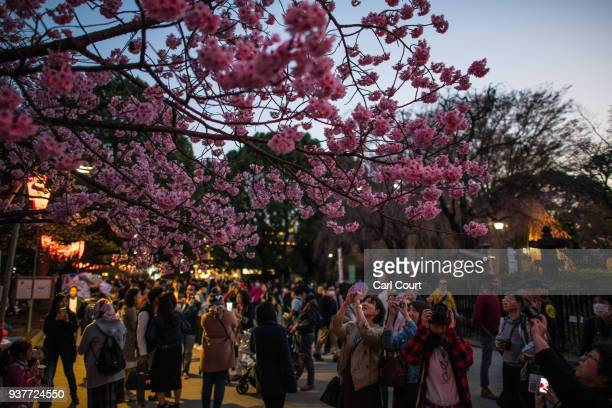 People view and photograph cherry blossom in Ueno Park on March 25 2018 in Tokyo Japan The Japanese have a longheld tradition of enjoying the...