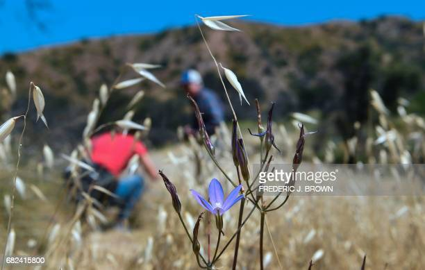 People view and photograph the endangered Brodiaea plant in the hills above Glendora California on May 12 in the midst of its largest bloom in modern...
