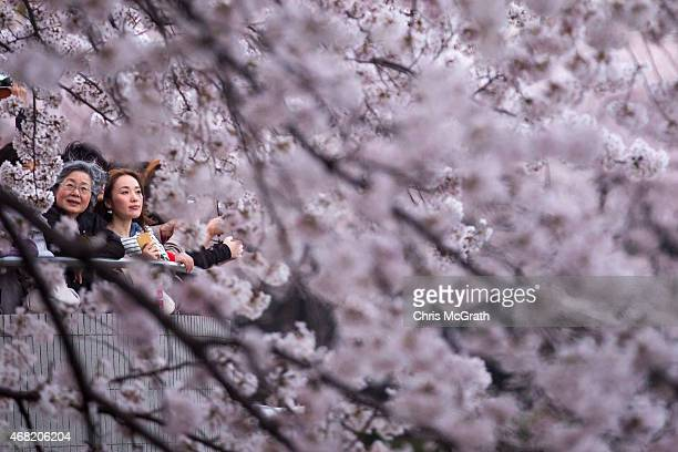 People view blooming cherry blossom trees at Chidorigafuchi on March 31 2015 in Tokyo Japan The Cherry blossom season begins in Okinawa in January...