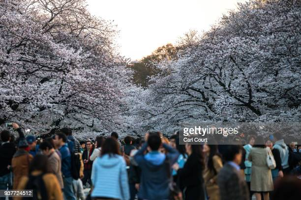 People view cherry blossom in Ueno Park on March 25 2018 in Tokyo Japan The Japanese have a longheld tradition of enjoying the blooming of cherry...