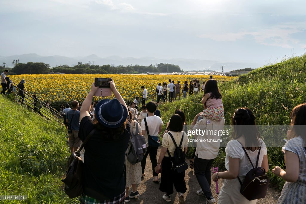 People visit a sunflower field on August 11, 2019 in Hokuto,    News