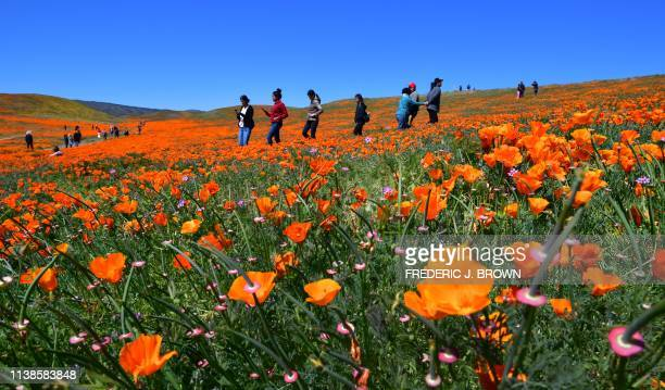People visit the poppy fields at the Antelope Valley Poppy Reserve in Lancaster California on April 21 2019 to view the orange Poppies and other...