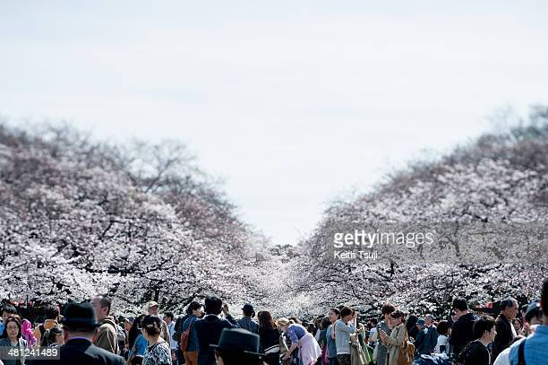 People visit Ueno Park to enjoy the cherry blossom on March 29 2014 in Tokyo Japan This is the first weekend after Japan's Meteorological Agency...