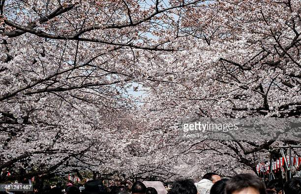 People visit Ueno Park to look at the cherry blossom on March 29 2014 in Tokyo Japan This is the first weekend after Japan's Meteorological Agency...