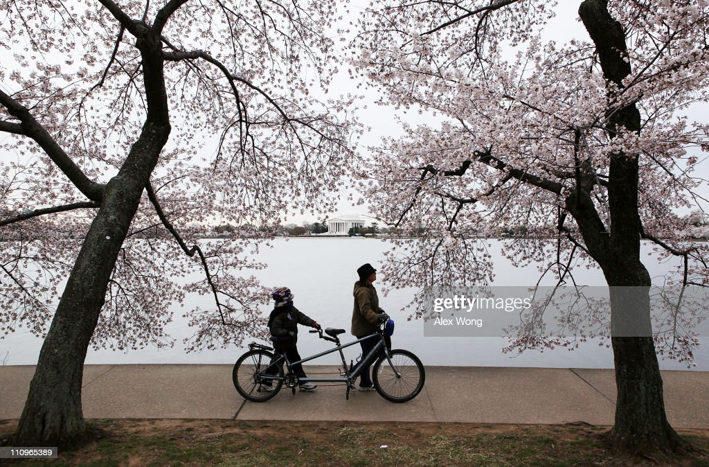 People walk a bike at the Tidal Basin under the cherry blossoms, with the Thomas Jefferson Memorial in the background, March 28, 2011 in Washington, DC. The annual 16-day National Cherry Blossom Festival will run thru April 10.