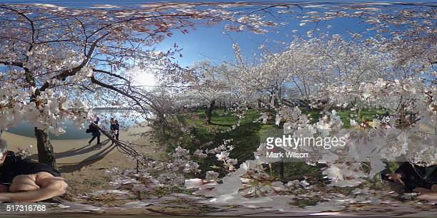 People walk along the Tidal Basin admiring the blooming Cherry Blossoms March 24 2016 in Washington DC The National Park Service has predicted that...