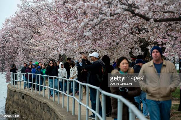 People walk along the Tidal Basin as Cherry Blossoms bloom on March 26 2017 in Washington DC / AFP PHOTO / ZACH GIBSON