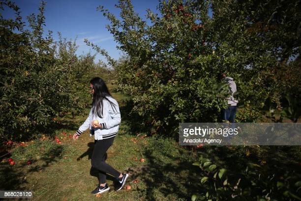 People walk among apple trees at the Wilkens Fruit and Fir Farm in Yorktown Heights in New York state United State on October 28 2017