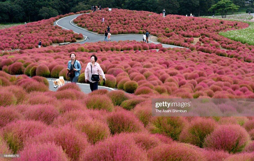 People walk among coloured Kochia field at Hitachi Kaihin Park on October 12, 2013 in Hitachinaka, Ibaraki Japan.