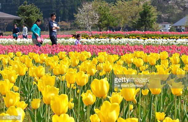 People walk among fullybloomed tulip field at Blue Messe Akita on April 29 2015 in Katagami Akita Japan