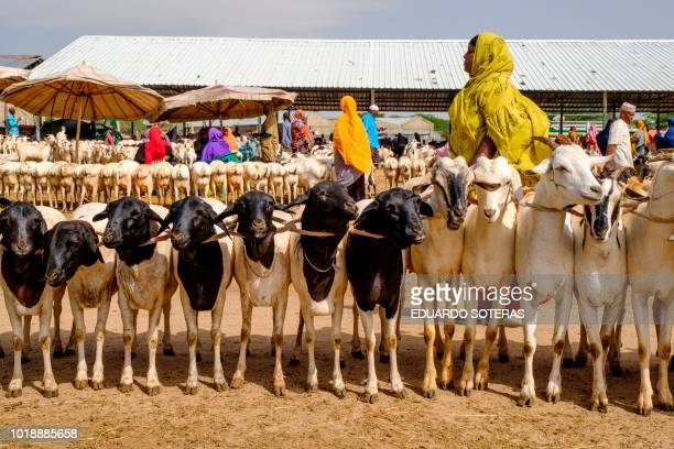 People walk among sheep and goats at the livestock market in Hargeisa Somaliland on August 18 2018