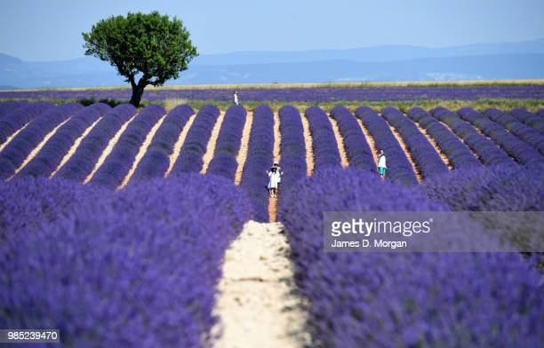 People walk amongst rows of lavender in full bloom on June 27 2018 in Valensole France Covering approximately 800 square kilometres the plateau of...