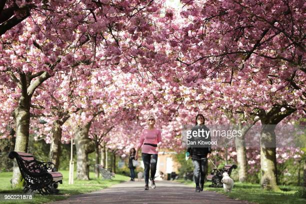 People walk beneath a canopy of cherry blossom in Greenwich Park on April 23 2018 in London England