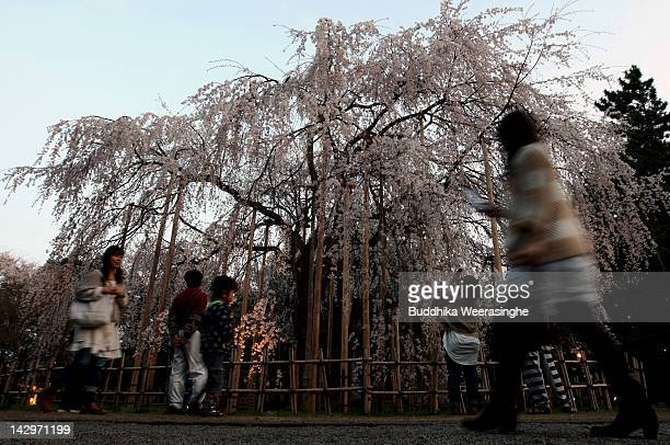 People walk beside the cherry blossom blooming on Mountain Asuwayama on April 16 2012 in Fukui Japan More than three thousand five hundred cherry...