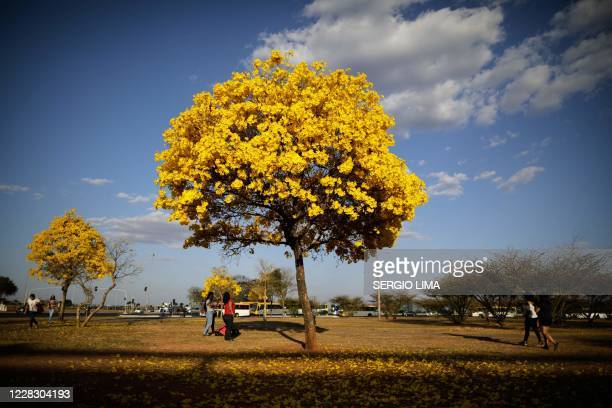 People walk by a yellow ipe or lapacho in the central region of Brasilia on September 1, 2020.