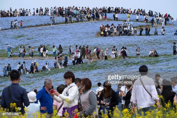 People walk on a hill covered with nemophila flowers in full bloom at Hitachi Seaside Park in Hitachinaka Ibaraki Prefecture on May 3 2017 Visitors...