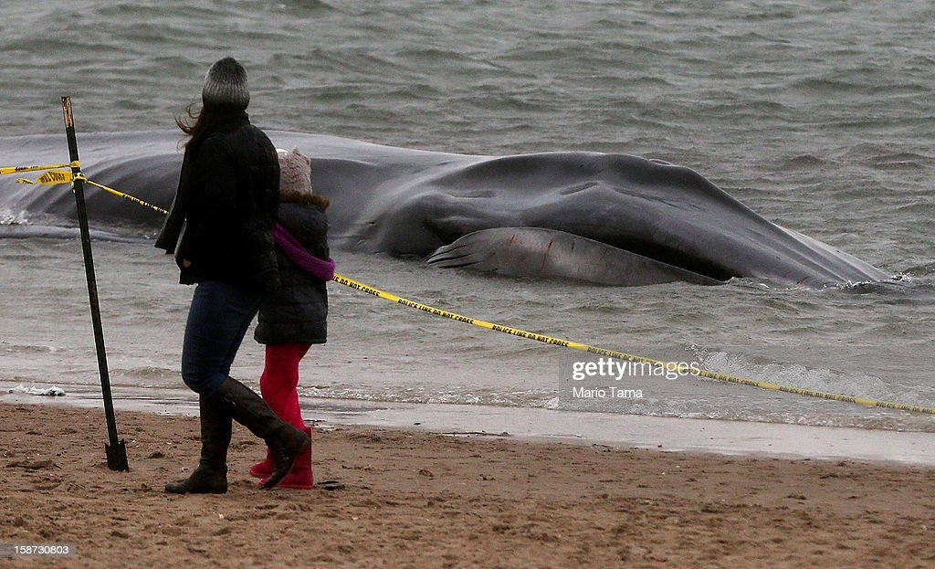 People walk past a beached whale, still alive, in the Breezy Point neighborhood on December 26, 2012 in the Queens borough of New York City. Breezy Point was especially hard hit by Superstorm Sandy. Rescuers believe the whale will not be able to be saved.