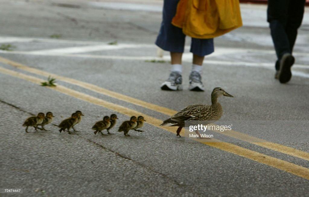 Ducklings Cross Street : News Photo