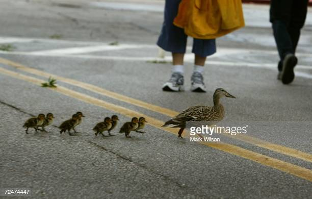 People walk past a mother duck as she walks her ducklings down a street May 20 2004 in Annapolis Maryland The Annapolis area experienced ealry...