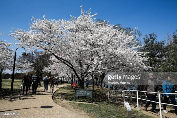 People walk past the blooming cherry trees which were sent from Tokyo after it was selected as 'town twinning' in 1912 along the Tidal Basin ahead of...