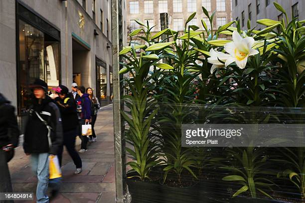 People walk past white Easter lilies before the upcoming Easter holiday in Rockefeller Center on March 28 2013 in New York City Workers planted...