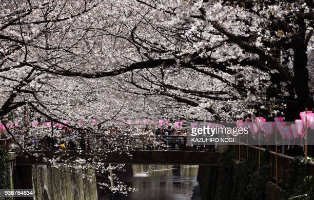 TOPSHOT People walk under cherry blossoms in full bloom in Tokyo on March 23 2018 The meteorological agency said this year's first blossoms appeared...