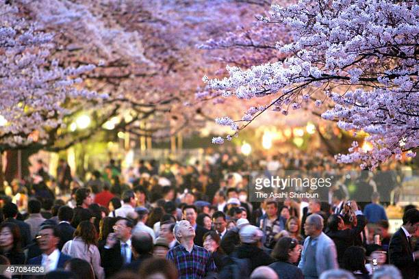 People walk under fully bloomed cherry blossom at Ueno Park on March 29 2007 in Tokyo Japan