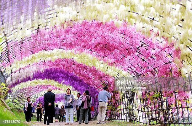 People walk under the tunnel of the Japanese wisteria on May 6, 2011 in Kitakyushu, Fukuoka, Japan.