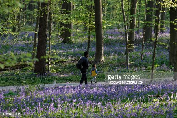 People walk wild bluebells which bloom around midApril turning the forest completely blue and forming a carpet in the Hallerbos also known as the...